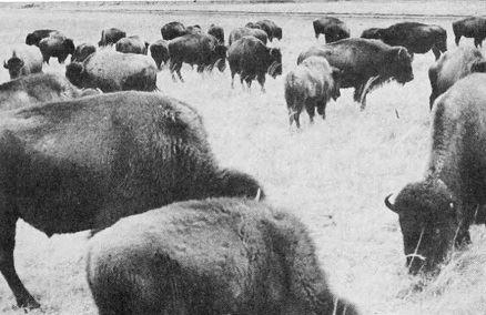 Clark Buffalo Ranch smaller