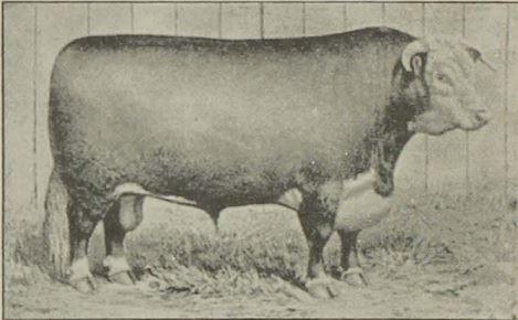 Cattle in Kansas
